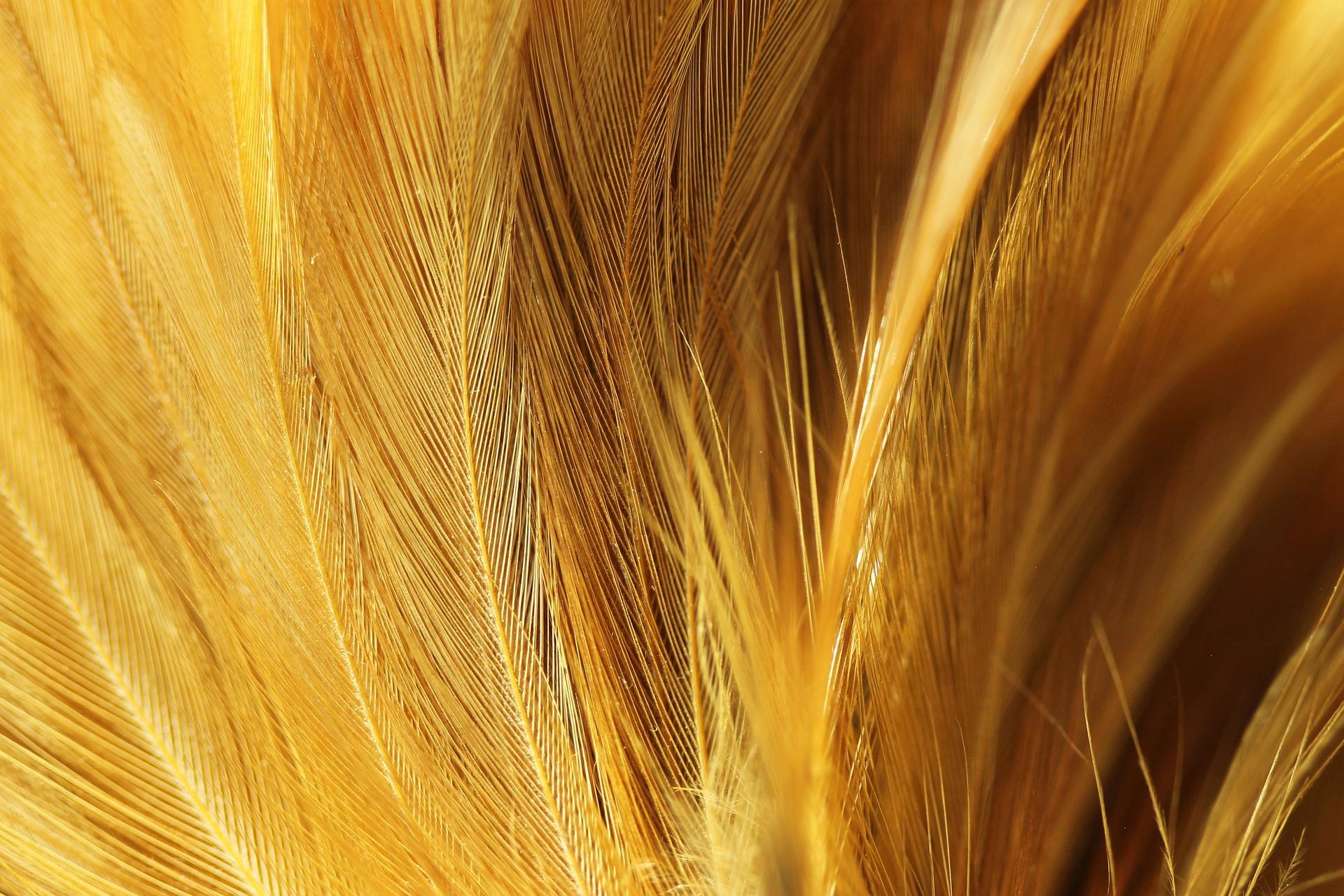 chicken-feather-836343_1920